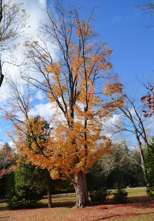 Fall_orange_tree_9_